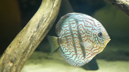 Beautiful brown discus fish , side view