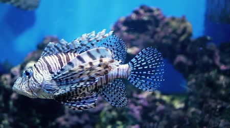 aqaba : Red lionfish swimming. Scuba diving adventure underwater with tropical lion fish. Lionfish in the aquarium