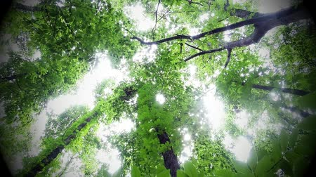 baldachin : Green leafy trees in forest looking up to the sky Stock mozgókép
