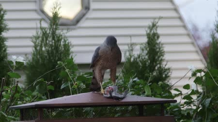 sas : Predator hawk eating another bird