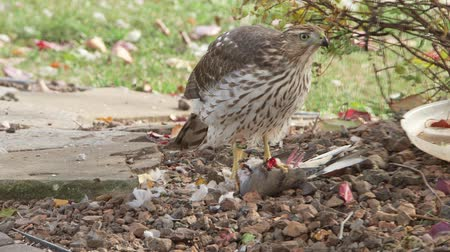 sas : Hawk eating prey