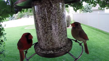 птица : Bird feeder with male and female northern cardinal birds eating Стоковые видеозаписи