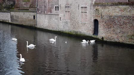 belga : Swans and seagulls swimming on the river in the Bruges, Belgium