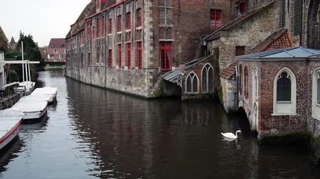 belga : Swan swimming on the river in the Bruges, Belgium Stock Footage
