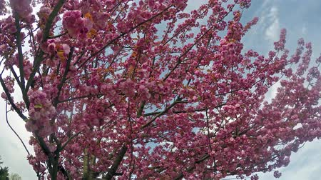 blooms : Sakura cherry blossoms against the blue sky