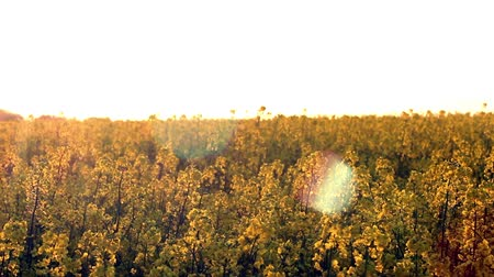 nasiona : Blooming rapeseed field at sunset Wideo