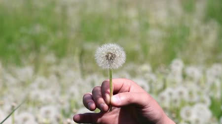 Man is blowing on dandelion on sunny day