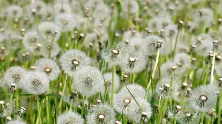 dmuchawiec : Overblown white dandelions on sunny day