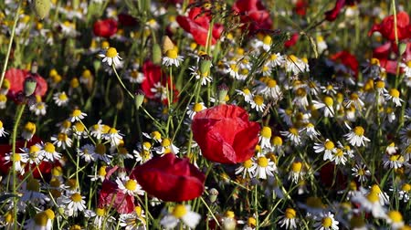 kamilla : Blossoming chamomiles and red poppies on sunny day