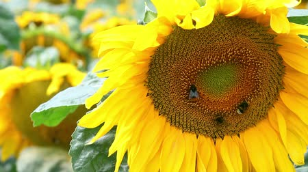 Closeup of sunflower on sunflowers field at sunny windy day. Flying bumblebees over flower.