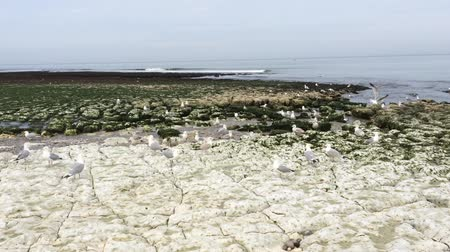 normandie : Seagulls on the rocks Stock Footage
