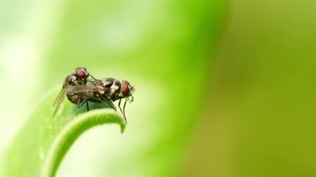Close-up fly mating on green leaf.