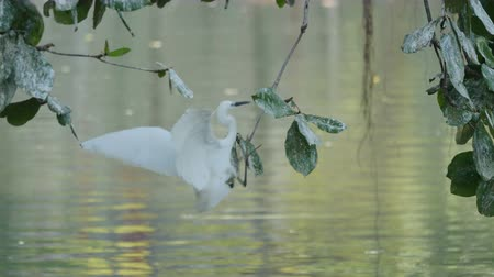 brodění : White Egret perch on a branch to find victims.