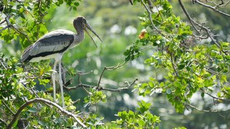 parte do corpo : Painted Storks on tree. Stock Footage