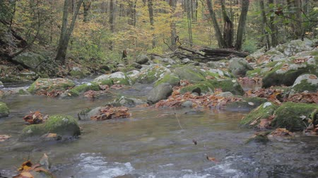 pisztráng : tracking along a fast moving mountain trout stream during autumn leaf season