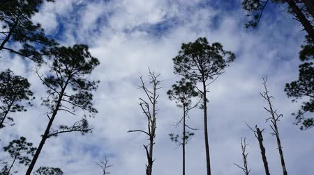 erdészet : Slash pine trees and dead trunks from recent wildfire against a bright blue sky with passing clouds