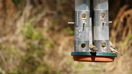 ave canora : Time lapse of American Goldfinch birds feeding on a bird feeder in an early Florida spring