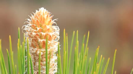 erdészet : Closeup view of emerging spring bud grown on Longleaf Pine