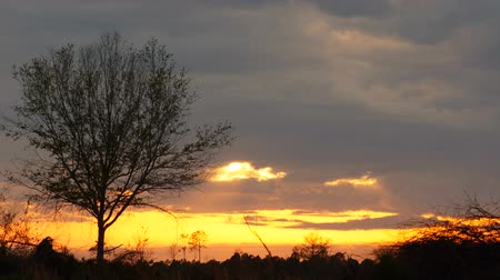 laur : timelapse of a lone laurel oak with sunset at first peaking though the clouds then passing below the clouds Wideo