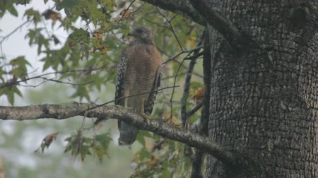red shouldered hawk perched on a sweetgum branch during an afternoon shower