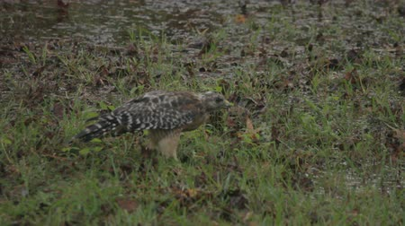 sas : red shouldered hawk hunting earthworms following afternoon rain storm Stock mozgókép