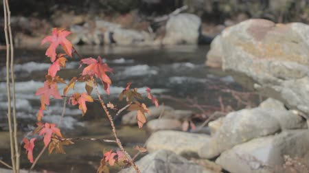 Red and yellow leafs of autumn Sweetgum tree with flowing mountain stream in background