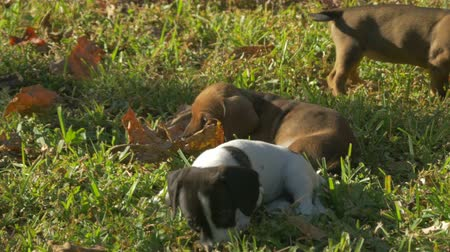 daksund : dachshund puppies playing with leaf 4K Stok Video