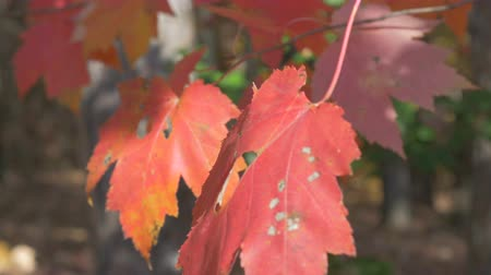 folha : Autumn maple leaf closeup 4K Stock Footage
