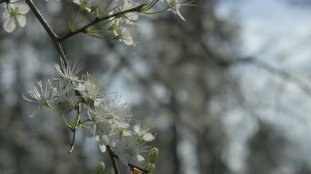 gałązki : Flatwoods plum bloom