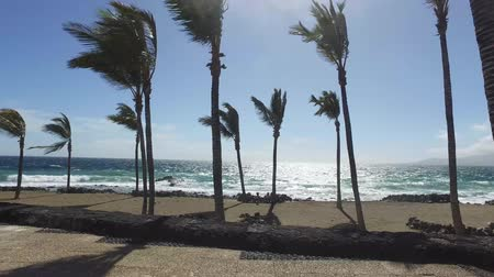 kanarya : Palm trees blowing on a beach on a windy day close to the sand and coastal area, taken in Lanzarote one of the Canary islands off the coast of West Africa, Spain Stok Video