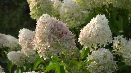 hortênsia : Snowball hydrangea arborescens moving in the wind