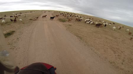 motorcyclist driving on road in steppe with herd of sheep