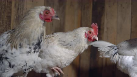 sivilceli : Young spotty hens in the chicken coop. Stok Video