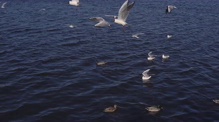 yüzer : Waterfowl on the lake in the city. Stok Video