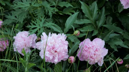 piwonie : Beautiful peonies on the flower garden of the botanical garden, 4k