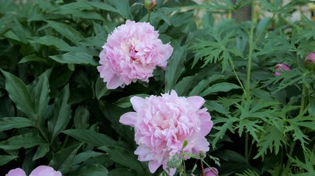 piwonie : Beautiful pink peonies blossom on the flower garden of the botanical garden.