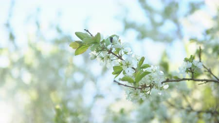 тычинка : Plum branches during flowering against a background of clear sky.
