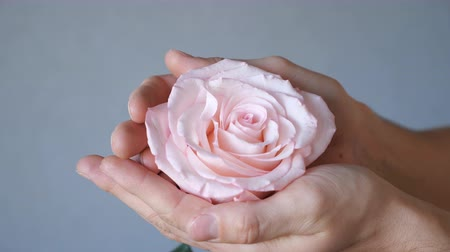 алый : pink rose in man hands on grey background, slow motion