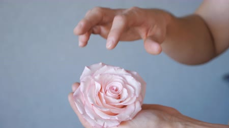escarlate : human hand caring for a flower rose petals. Stock Footage