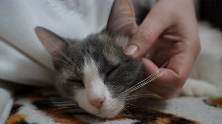 ronronar : Girl strokes a falling asleep cat. The cat relaxed. Face of a cat close-up