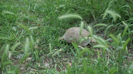 animais em extinção : turtle is moving along the green grass, close-up