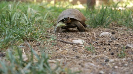 animais em extinção : tortoise turtle slowly moving through on green grass walking to camera.
