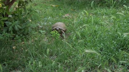 貝殻 : turtle is moving along the fresh green grass.