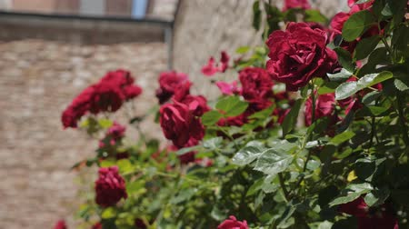 колебание : Red roses by the stone wall on a sunny day. Стоковые видеозаписи
