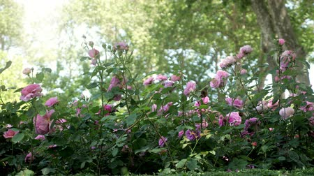 колебание : Beautiful roses in the summer garden in the shade of trees.