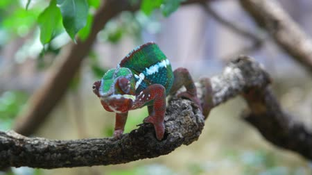 ящерица : Chameleon with a bright color sits on a branch and rolls eyes in search of production Стоковые видеозаписи