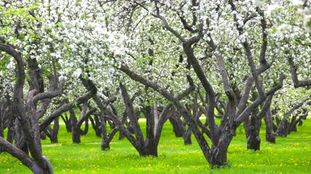 springtime : Petals fly from blossoming apple-trees