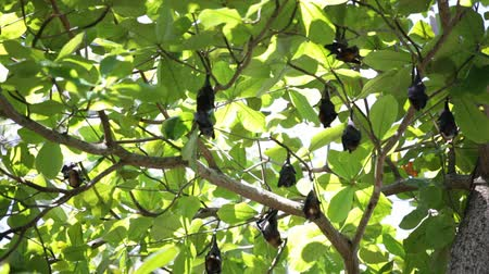 pteropus : Relaxed flying foxes sleeping on the tree during day Stock Footage
