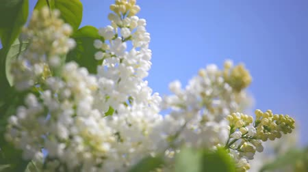 leylak :  branch of a white lilac waves on a wind Stok Video