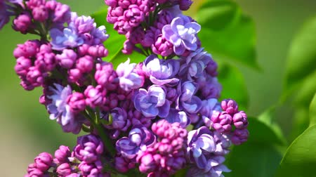 ogród : branch of a lilac lilac waves on a wind